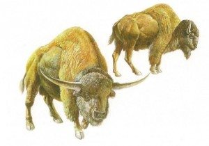 Wild cattle include living and extinct species of bison as well as other extinct closely related types. Shown here are two extinct species, Bison latifrons (left) and Bison antiquus (right). Illustration courtesy of the George C. Page Museum in Los Angeles, California.