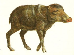 Figure 3 Platygonus shown here is an example of an extinct peccary that might have been present when man was in Mesoamerica. It was somewhat larger than the peccaries that live in the region today. It can be seen that both types are very pig-like and they both could easily be called a pig. Illustration courtesy of the George C. Page                                    Museum in Los Angeles, California