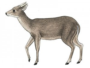 """Figure 4 The animal shown here is Mazama americana, or the Red Brocket deer, that is a common mammal found in Mesoamerica. It can readily be seen how this animal could be confused with a goat. Its single """"horn"""" on each side of the head is really an antler. Antlers are shed each year, while horns are not. This illustration is from Amazonwiki."""