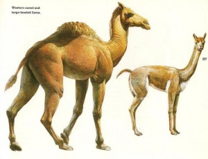 """Figure 6 Two extinct species of llama (a type of camel) are shown here. Either could conceivably be a """"Curelom"""" or """"Cumom"""" as explained in the text. Both are known from Mesoamerica and probably existed when men came into this region. Illustration courtesy of the George C. Page Museum in Los Angeles, California."""